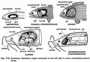 Accessory Respiratory Organs Of Fishes  With Diagram