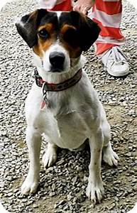 Clyde | Adopted Dog | Washington Court House, OH | Beagle ...