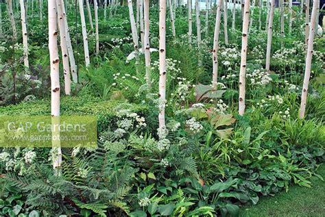 gap gardens birch wood  underplanting  shade