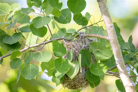 How Orioles Build Those Incredible Hanging Nests | Audubon