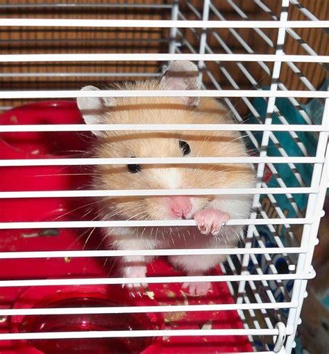 wie viel kostet ein hamster preise und kosten im ueberblick