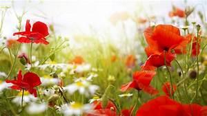wallpaper, field, , 4k, , hd, wallpaper, , chamomile, , poppy, , flowers, , nature, , 5174