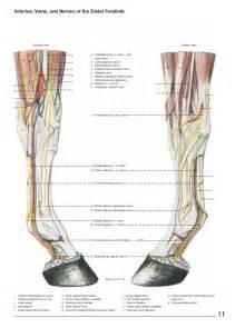 Horse Leg Anatomy Diagram