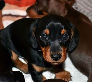 Miniature Smooth haired Dachshund Puppy for sale | Ashford ...