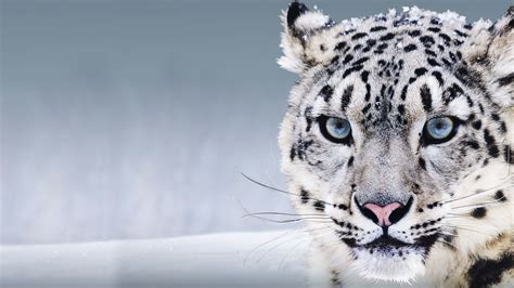 wallpaper snow leopard china blue eyes snow animals