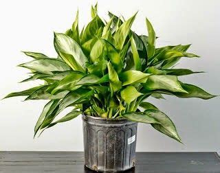 tanaman hias mudah dirawat cocok halaman rumah