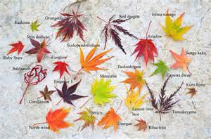 different types of japanese maples japanese maple leaf comparison and fall color comparison japanese maples pinterest