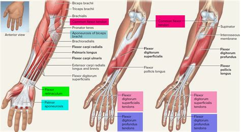 This site contains information about forearm tendons. Tendon - Function, Arm, Hand Tendons - Leg and Achilles ...