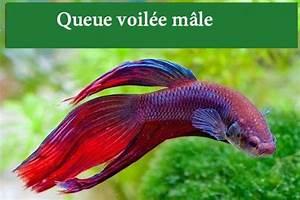 Queue De Poisson Voiture : les diff rents types de poissons combattants avec photos ~ Maxctalentgroup.com Avis de Voitures