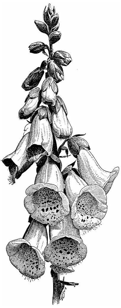 Foxglove Digitalis Clipart Purpurea Botanical Illustration Drawing