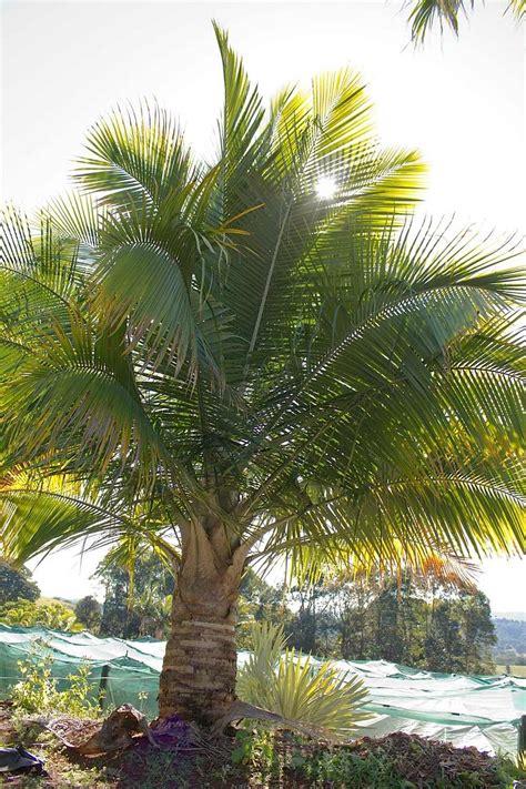 palms fast growers    care   palms