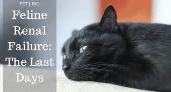 symptoms of kidney failure in cats navigating kidney failure in cats stages