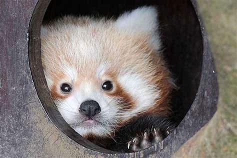 baby pandas panda born zsl london adorable babies zoo standard whipsnade evening