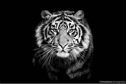Tiger Background Close Dog Predator Wallpapers