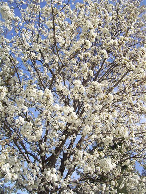 white flowering plum tree ornamental white flowering plum trees flickr photo sharing