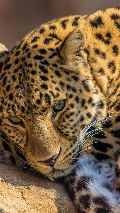 Iphone Leopard Wallpapers Cheetah Backgrounds 6s Animal