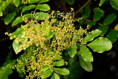 makamaka foliage  flowers caldcluvia rosaefolia nz