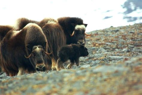 In the Arctic More Rain May Mean Fewer Musk Oxen The