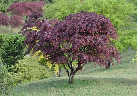 lilas en pot entretien 201 rable du japon conseils de plantation taille et entretien