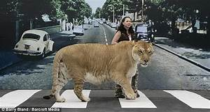 Animals & Birds Lovers: World's Largest Big Cat - Hercules