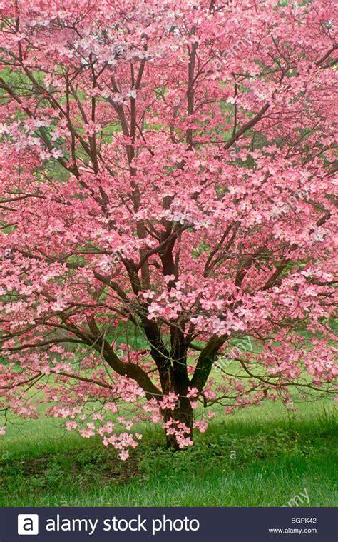 japanischer hartriegel baum atemberaubende rosa hartriegel baum in voller fr 252 hling