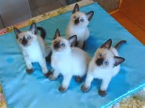 thai cat cattery of the thai cats quot gamlet quot kittens for