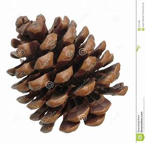 Pine Cone Illustrations Clipart - Clipart Kid