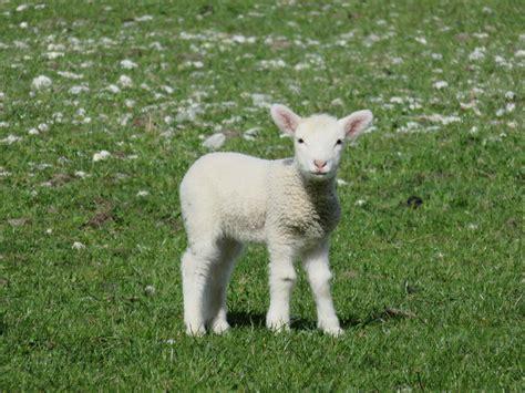 cuisiner asperges mouton mignon
