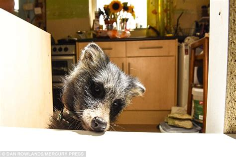owning a raccoon meet bandit the pet raccoon dog daily mail online
