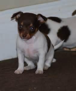Chihuahua Rat Terrier