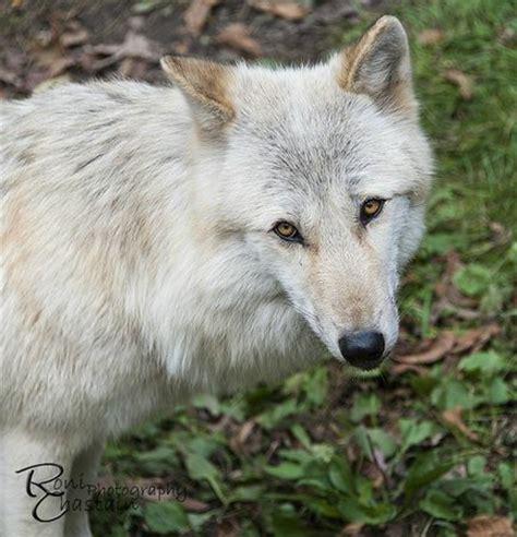 alawa zephyr rocky mountain grey wolf picture