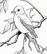 Coloring Pages Orioles Baltimore Bird Popular sketch template
