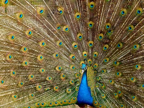 Cool Black And Blue Wallpaper Blue Peacock Free Stock Photo