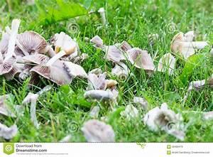 Pilze Auf Komposthaufen : wei e pilze auf garten gras stockfoto bild 56489479 ~ Lizthompson.info Haus und Dekorationen