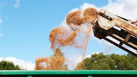 Çmimi i grurit të zhdoganuar rritet edhe 6% - Konica.al