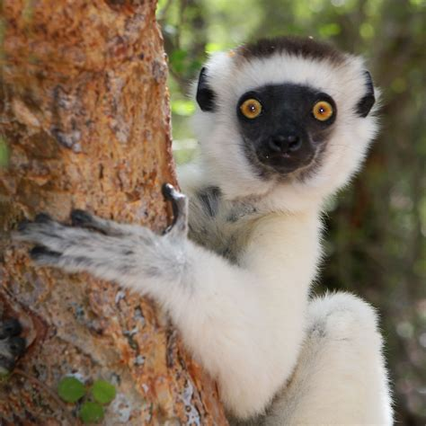 Image result for lemur