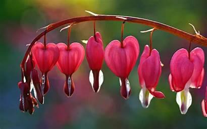 Flower Flowers Background Broken Heart Screen Pink
