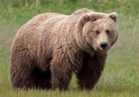 Медведь – это кто?