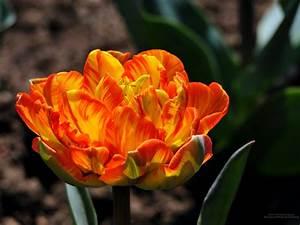 Bilder Blumen Kostenlos Downloaden : 2048 x 1536 tulpe desktop hintergrundbilder zum download blumen ~ Frokenaadalensverden.com Haus und Dekorationen