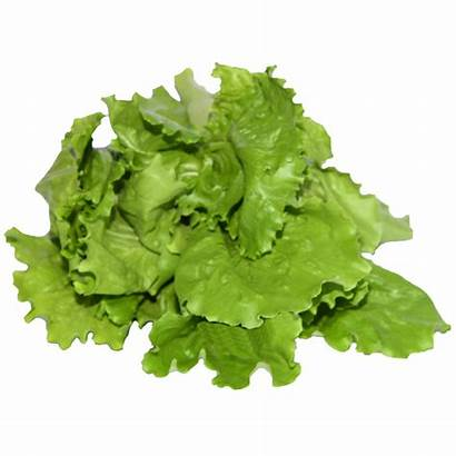 Lettuce Types Iceberg Simplyfresh Lettuces Fresh Iceburg
