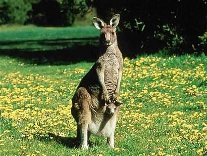 Kangaroo Animals Spirit Animal Symbolism Kangaroos Forward