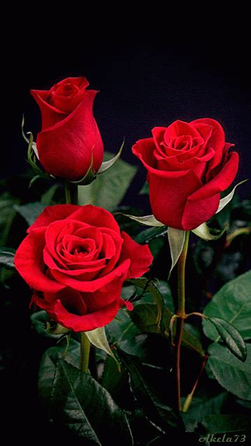 Animated Roses Wallpaper - 22 amazing roses animated gifs at best animations