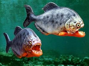 Piranha | Aquarium Fish - Exotic Fish