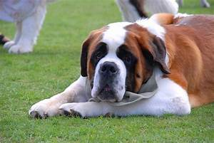 Common Dog Breeds Large That Don T Shed Medium Sized Big ...