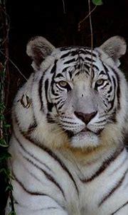 white tiger beautiful pic | Animals, White tiger, Pet ...