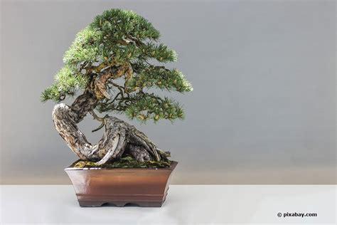 wann werden hortensien geschnitten bonsai schneiden mit 6 schnitten zur asiatischen gartenkunst
