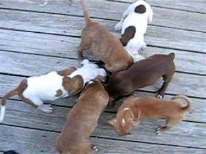 Red Nose PitBull Puppies!-Ace & Queen's babies - YouTube