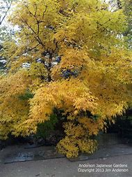 Maple Tree with Yellow Fall Color