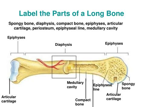 Along with the fibula, it forms the lower part. Label The Long Bone / Appendicular Skeleton / These bones include some bones of the skull, the ...