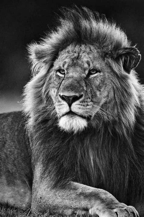 lion hd wallpapers  laptop background lion